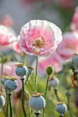 THATCH COTTAGE, CROWLE, WORCESTERSHIRE: CLOSE UP OF PINK AND WHITE FLOWERS OF POPPY, POPPIES