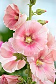 THATCH COTTAGE, CROWLE, WORCESTERSHIRE: CLOSE UP OF PINK FLOWERS OF HOLLYHOCKS. DECIDUOUS, PERENNIALS