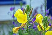 THATCH COTTAGE, CROWLE, WORCESTERSHIRE: CLOSE UP PORTRAIT OF YELLOW FLOWERS OF EVENING PRIMROSE - OENOTHERA MACROCARPA, DECIDUOUS, PERENNIALS