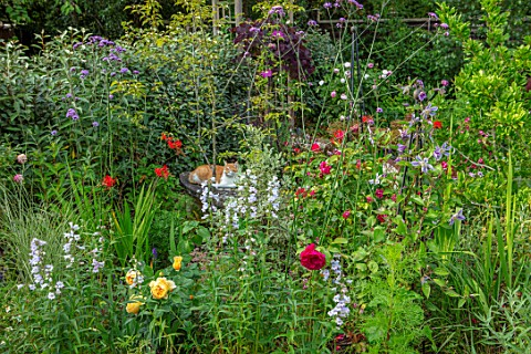 BATTS_COTTAGE_OXFORDSHIRE_CAT_ON_BENCH_BORDERS_VERBENA_BONARIENSIS_ROSES_CLEMATIS_ARABELLA_PENSTEMON