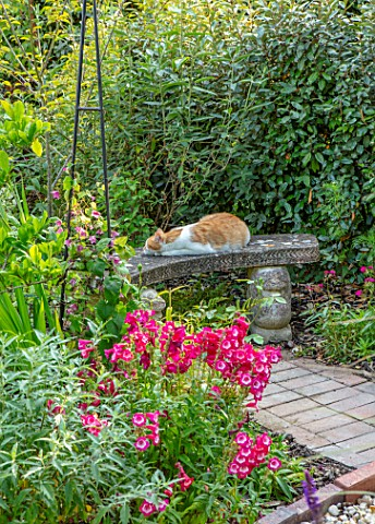 BATTS_COTTAGE_OXFORDSHIRE_CAT_ON_BENCH_BORDERS_PETS_ANIMALS_SEAT_SEATING_PENSTEMON_PHOENIX_RED