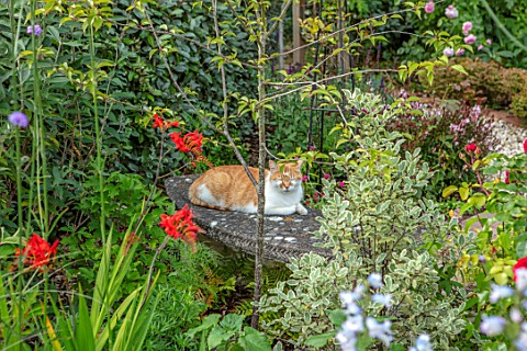 BATTS_COTTAGE_OXFORDSHIRE_CAT_ON_BENCH_BORDERS_PETS_ANIMALS_SEAT_SEATING_CROCOSMIA_LUCIFER
