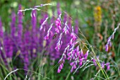 THE NEWT IN SOMERSET: PLANT PORTRAIT OF PINK FLOWERS OF DIERAMA PULCHERRIMUM, PETALS, PERENNIALS, ARCHING, HANGING