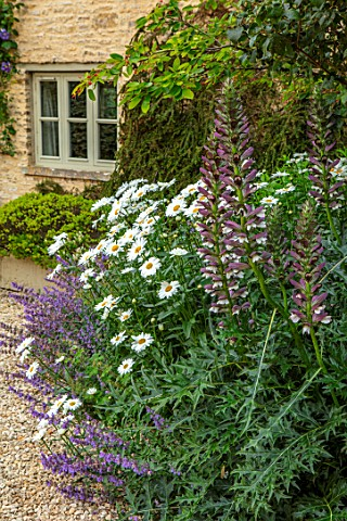 ADAMS_POOL_GLOUCESTERSHIRE_COTTAGE_GADEN_DRIVE_ACANTHUS_SPINOSUS_AND_SHASTA_DAISY_LEUCANTHEMUM_X_SUP