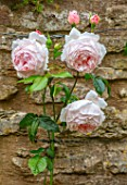 ADAMS POOL, GLOUCESTERSHIRE:PINK FLOWERS OF ROSE ON WALL