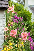 THATCH COTTAGE, WORCESTERSHIRE: BLACK AND WHITE COTTAGE, ORANGE HOLLYHOCKS, CLIMBING PEA, EVENING PRIMROSE, GARDEN, ENGLISH, COTTAGES