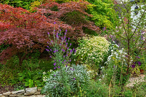 THATCH_COTTAGE_WORCESTERSHIRE_JAPANESE_MAPLES_AND_FEVERFEW_BESIDE_THE_BACK_DOOR