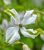 THATCH COTTAGE, CROWLE, WORCESTERSHIRE: CLOSE UP PORTRAIT OF WHITE, YELLOW, FLOWERS OF CLEMATIS ALBA LUXURIANS. CREEPER, CLIMBERS, SCARAMBLING