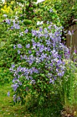 THATCH COTTAGE, WORCESTERSHIRE: CLOSE UP PORTRIAT OF PALE BLUE FLOWERS OF CLEMATIS