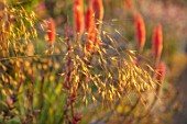 WATERDALE, WEST MIDLANDS: CLOSE UP PORTRAIT OF STIPA GIGANTEA. ORNAMENTAL, GRASSES, SEEDHEADS, PERENNIALS