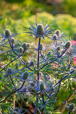 WATERDALE_WEST_MIDLANDS_CLOSE_UP_PORTRAIT_OF_BLUE_FLOWERS_OF_ERYNGIUM_ZABELII_BIG_BLUE_SEA_HOLLY_FLO