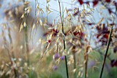 BATTS COTTAGE, OXFORDSHIRE: PLANT PORTRAIT OF STIPA GIGANTEA, PERENNIALS, ORNAMENTAL, SEEDHEADS, SEED, HEADS, GRASSES