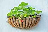 BATTS COTTAGE, OXFORDSHIRE: STRAWBERRIES GROWING IN BASKET CONTAINER ON WALL OF COTTAGE