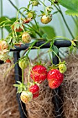 BATTS COTTAGE, OXFORDSHIRE: CLOSE UP OF STRAWBERRIES GROWING IN BASKET CONTAINER ON WALL OF COTTAGE. EDIBLES