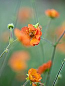 BATTS COTTAGE, OXFORDSHIRE: CLOSE UP PORTRAIT OF ORANGE FLOWERS OF GEUM TOTALLY TANGERINE. PERENNIALS, BLOOMS, DECIDUOUS