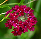DESIGNER ANGEL COLLINS, DARK PINK, RED FLOWERS OF VERBENA CLARET, PERENNIALS, ANNUALS, BEDDING