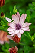 DESIGNER ANGEL COLLINS: CLOSE UP OF FLOWERS OF OSTEOSPERMUM SUNNY BRONZE, SUNNY SERIES, TENDER, PERENNIALS