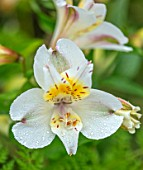 DESIGNER ANGEL COLLINS, PALE YELLOW, WHITE FLOWERS OF ALSTROEMERIA SUMMER SKY, PERENNIALS, PASTELS, BLOOMS, FLOWERING, BLOOMING