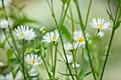 DESIGNER ANGEL COLLINS, PALE WHITE FLOWERS OF ERIGERON ANNUUS, PERENNIALS, PASTELS, BLOOMS, FLOWERING, BLOOMING, FLEABANE