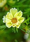 DESIGNER ANGEL COLLINS, PALE WHITE, YELLOW, CREAM FLOWERS OF COSMOS BIPINNATUS XANTHOS, ANNUALS, PASTELS, BLOOMS, FLOWERING, BLOOMING
