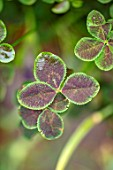 DESIGNER ANGEL COLLINS - CLOSE UP OF BROWN, RUST, GREEN LEAVES OF TRIFOLIUM REPENS PURPURASCENS QUADRIFOLIUM, FOLIAGE, GREEN, LEAVES, PERENNIALS