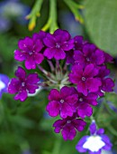 DESIGNER ANGEL COLLINS, DARK PINK, PURPLE FLOWERS OF VERBENA SHOWBOAT MIDNIGHT, PERENNIALS, ANNUALS, BEDDING