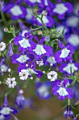 DESIGNER ANGEL COLLINS - CLOSE UP OF PURPLE, BLUE, WHITE, FLOWERS OF LOBELIA LAURA BLUE EYES