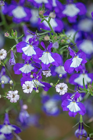 DESIGNER_ANGEL_COLLINS__CLOSE_UP_OF_PURPLE_BLUE_WHITE_FLOWERS_OF_LOBELIA_LAURA_BLUE_EYES