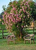 PETTIFERS, OXFORDSHIRE: DESIGNER GINA PRICE - WOODEN SEATS BESIDE CLIMBING ROSE - ROSA BLUSHING LUCY, DECIDUOUS, SHRUBS, CLIMBERS