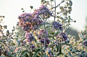 PETTIFERS, OXFORDSHIRE: DESIGNER GINA PRICE - PORTRAIT OF THE PALE PINK FLOWERS OF BUDDLEJA CRISPA, BUDDLEIA, PETALS, DECIDUOUS TREES, SHRUBS