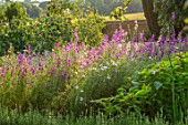 CANONS ASHBY, NORTHAMPTONSHIRE, THE NATIONAL TRUST - THE KITCHEN GARDEN, POTAGER, LARKSPUR, PICKING, CUTTING, GARDENS, JULY, SUNSET, EVENING