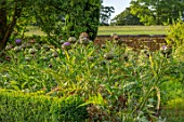 CANONS ASHBY, NORTHAMPTONSHIRE, THE NATIONAL TRUST - THE KITCHEN GARDEN, POTAGER WITH GLOBE ARTICHOKES, CYNARA CARDUNCULUS, CUTTING, GARDENS, EDIBLE
