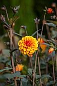CANONS ASHBY, NORTHAMPTONSHIRE, THE NATIONAL TRUST - THE KITCHEN GARDEN, POTAGER - PORTRAIT OF ORANGE FLOWERS OF DAHLIA DAVID HOWARD
