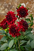 CANONS ASHBY, NORTHAMPTONSHIRE, THE NATIONAL TRUST - PORTRAIT OF DARK RED FLOWERS OF DAHLIA ARABIAN NIGHT