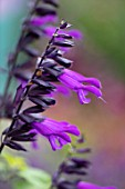 WATERDALE, WEST MIDLANDS: PLANT PORTRAIT OF THE PURPLE FLOWERS OF SAGE - SALVIA AMISTAD, PERENNIALS, JULY
