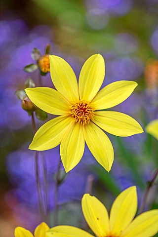 WATERDALE_WEST_MIDLANDS_CLOSE_UP_OF_YELLOW_FLOWERS_OF_YELLOW_DAHLIA_SUMMER