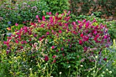 MORTON HALL, WORCESTERSHIRE: SOUTH GARDEN, JULY, CLEMATIS VITICELLA KERMESINA, PURPLE, RED, PINK, FLOWERS, BLOOMS, CLIMBERS, CLIMBING, SCRAMBLING