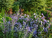 MORTON HALL, WORCESTERSHIRE: SOUTH GARDEN, JULY, CLEMATIS VITICELLA EMILIA PLATER, PEROVSKIA BLUE SPIRE, LAWN, EVENING LIGHT, SUNSET