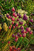 MORTON HALL, WORCESTERSHIRE: KITCHEN GARDEN BORDER - ALLIUM SPHAEROCEPHALON, ACHILLEA NOBILIS SUBSP NEILREICHII