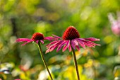 MORTON HALL, WORCESTERSHIRE: PORTRAIT OF PINK FLOWERS OF ECHINACEA MORTON HALL. PERENNIALS, FLOWERS, CONEFLOWER, BLOOMS, JULY