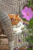 WATERDALE, WEST MIDLANDS - PATIO - PET GINGER CAT SLEEPING ON CHAIR ON TERRACE, PATIO