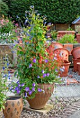 WHICHFORD POTTERY, WARWICKSHIRE: CONTAINER - PETUNIA ROYAL BLUE, ABUTILON MARION, DIASCIA PERSONATA, PLUMBAGO DARK BLUE, NEPEAT, SALVIA AMENA