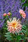 PRIVATE GARDEN, GLOUCESTERSHIRE - DESIGNER ANGEL COLLINS: DAHLIA HENRIETTE AND PEROVSKIA COMBINATION, AUGUST