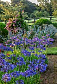 PETTIFERS, OXFORDSHIRE, DESIGNER GINA PRICE: THE PARTERRE IN AUGUST - AGAPANTHUS HEADBOURNE HYBRIDS, CLEMATIS ALIONUSHKA, MORNING LIGHT, SUNRISE