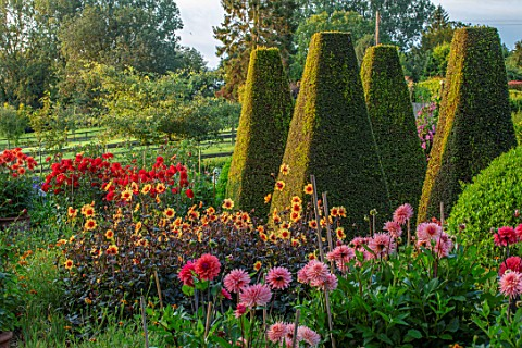 PETTIFERS_OXFORDSHIRE_DESIGNER_GINA_PRICE_THE_PARTERRE_IN_AUGUST__DAHLIAS_INCLUDING_MOONSHINE_MORNIN