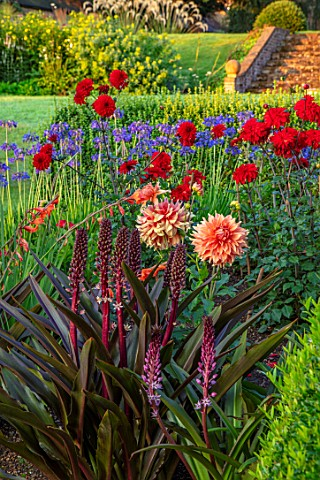 PETTIFERS_OXFORDSHIRE_DESIGNER_GINA_PRICE_THE_PARTERRE_IN_AUGUST__EUCOMIS_SPARKLING_BURGUNDY_MORNING
