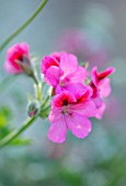 WHICHFORD POTTERY, WARWICKSHIRE: PLANT PORTRAIT OF PINK FLOWERS OF PELARGONIUM HULA. GERANIUMS, ANNUALS