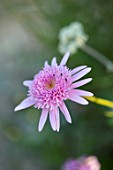 WHICHFORD POTTERY, WARWICKSHIRE: PLANT PORTRAIT OF PINK FLOWERS OF ARGYRANTHEMUM VANCOUVER