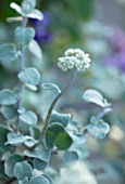 WHICHFORD POTTERY, WARWICKSHIRE: PLANT PORTRAIT OF GREY CREAM FLOWER OF HELICHRYSUM PETIOLARE, SILVER BUSH EVERLASTING FLOWER, LICORICE PLANT
