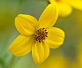 WHICHFORD POTTERY, WARWICKSHIRE: PLANT PORTRAIT OF YELLOW FLOWERS OF BIDENS AUREA. SCENT, SCENTED, FRAGRANT